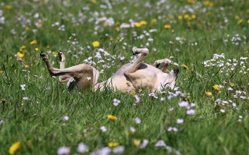 Galgo jugando en un campo de hierba